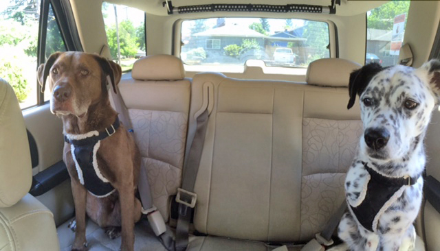 Dogs buckled in going for a ride