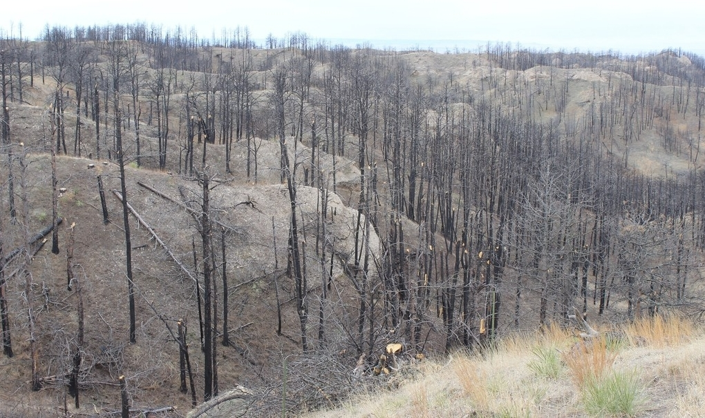 Overlook view of trees after wildfire