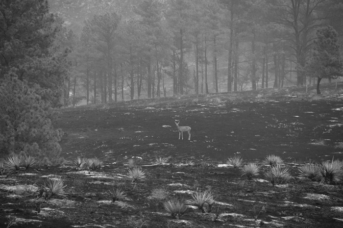 Black and white photo of burnt land and a deer standing in the middle