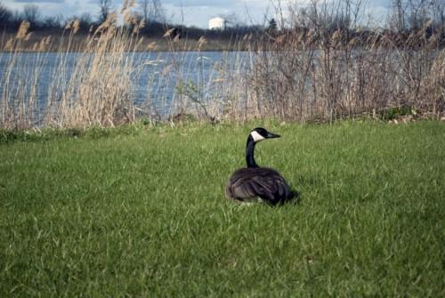 Canada Goose' official illinois