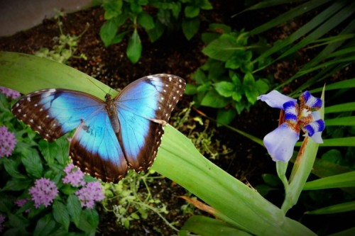 See the Beautiful Blue Morpho at Hershey Gardens' Butterfly Atrium