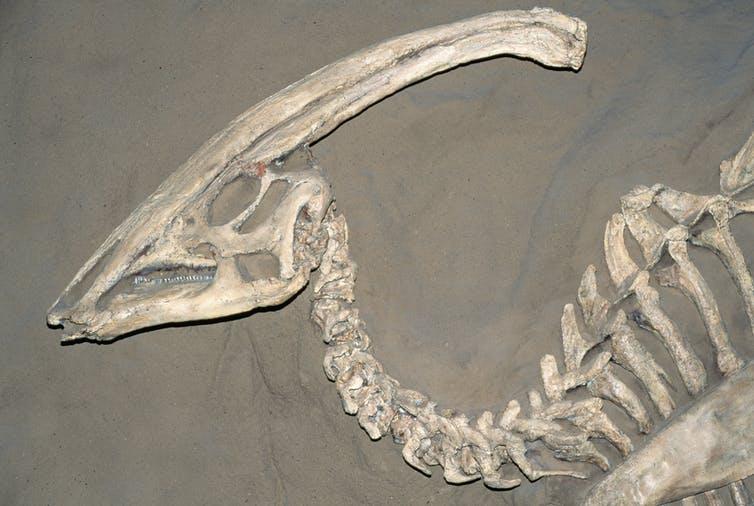 A fossil of the Parasaurolophus dinosaur.